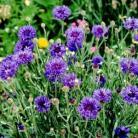 Centaurea c. Midget Blue