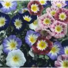Convolvulus tricolor mix