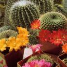 Cactus Woestijnbloemen