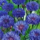 Centaurea c. Blue