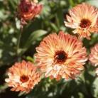 Calendula off. Sunset Buff