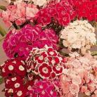 Dianthus bar. Mix