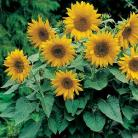 Helianthus a. * Pacino Gold