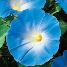 Ipomoea tric. Heavenly Blue