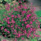 Lobelia Red cascade