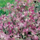 Matthiola long. bicornis