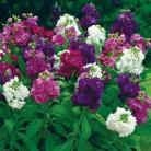 Matthiola in. Hot Cakes