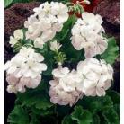 Pelargonium zo. f1 Apollo wit Geranium