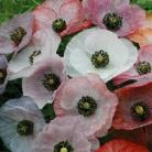 Papaver rho. Mother of Pearl