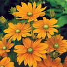 Rudbeckia h. Irish Spring