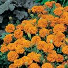Tagetes p.n. Boy Orange