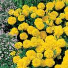 Tagetes p.n. Yellow Jacket