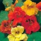 Tropaeolum m. Gleam mix