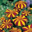 Tagetes p.h. Jolly Jester
