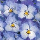 Viola c Washed Denim