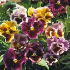 Viola x w Rococo