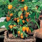 Paprika mini Orange