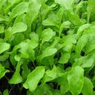 Rucola mixed