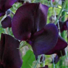 Lathyrus o. Almost Black