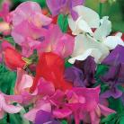 Lathyrus o. Giant Waved