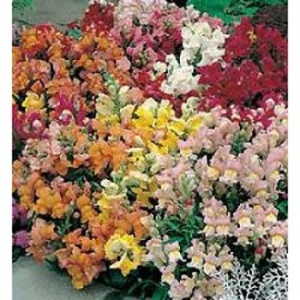 Antirrhinum majus Tom Thumb