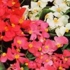 Begonia semp. Summer Rainbow F2