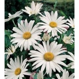 Chrysantheme May Queen Margriet