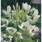Cleome White Queen