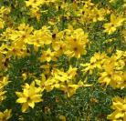 Coreopsis lanceolata goudgeel
