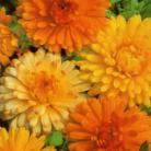 Calendula off. Art