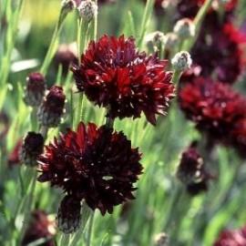 Centaurea c. Black