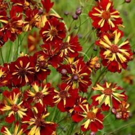 Coreopsis tinctoria Roulette