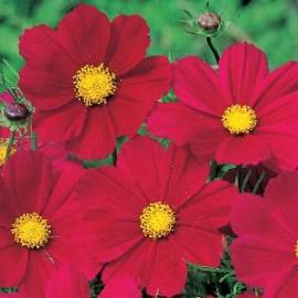 Cosmos bip. Gazabo Red