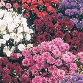Centaurea c. Midget mix