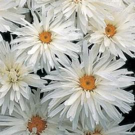 Chrysanthemum Crazy