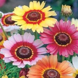 Chrysanthemum carinatum