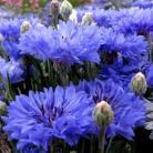 Centaurea c. Double Blue