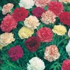 Dianthus cary. Giant