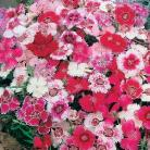 Dianthus chin. Baby