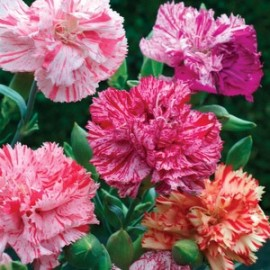 Dianthus cary. Picotee Fantasy
