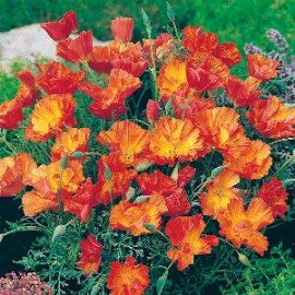Eschscholzia cali. Strawberry