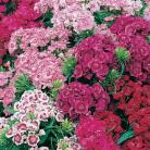 Dianthus bar. Indian