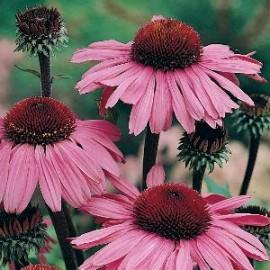 Echinacea pur. Bravado