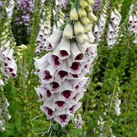 Digitalis pur. Pam's Choice      WB