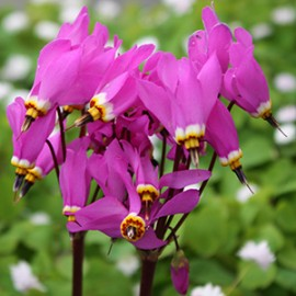 Dodecatheon                  WB