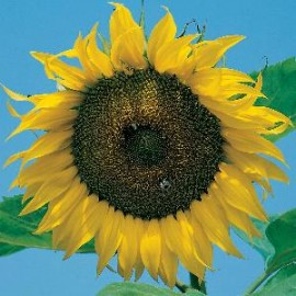 Helianthus a. Giant