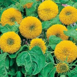 Helianthus a. Teddy Bear