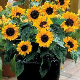 Helianthus a.  Baby Face