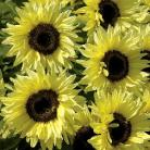 Helianthus a. Garden Statement