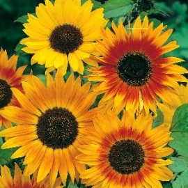 Helianthus a. Autumn B